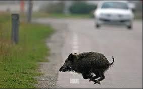 Risultati immagini per collisione fauna selvatica