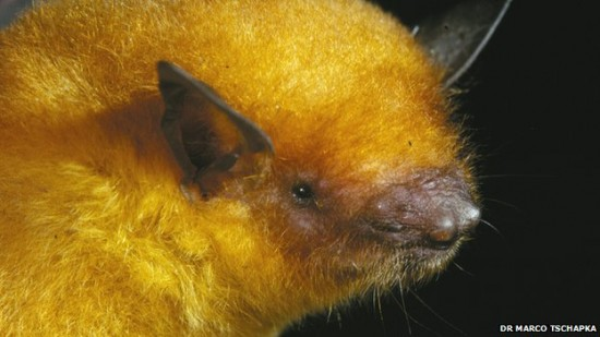 pipistrello d'oro