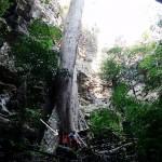Gigantesca Pianta di Teck che si apre alla base del pozzo di ingresso della La Ang Spoon (C. Schiavon)