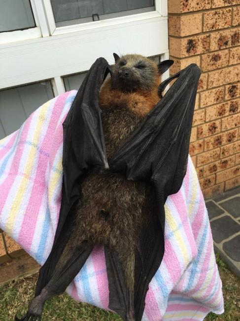 pipistrello Australia Volpe Volante