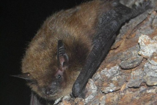 Pipistrello WNS White Nose Syndrome